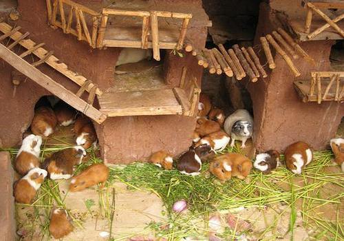 Сделать дом для морских свинок