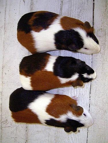 Морская свинка купить в санкт петербурге питомник